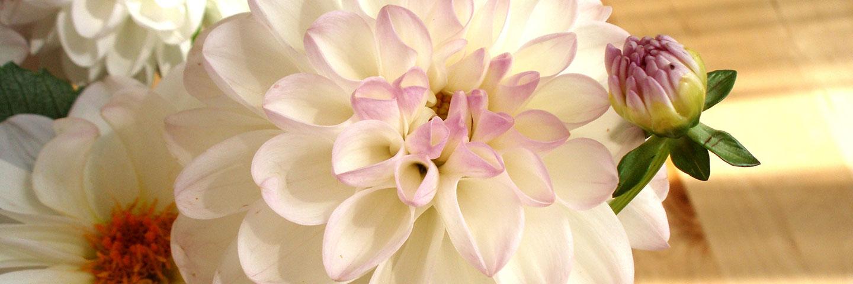 Blüte einer weißen Dahlie